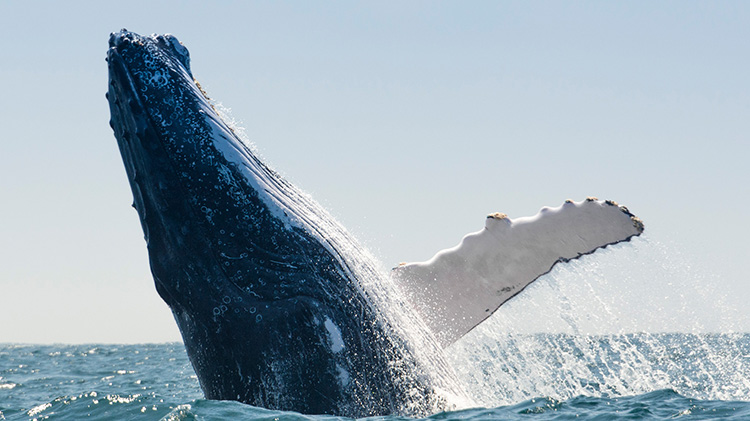 National Oceanic and Atmospheric Administration (NOAA) Whale Count