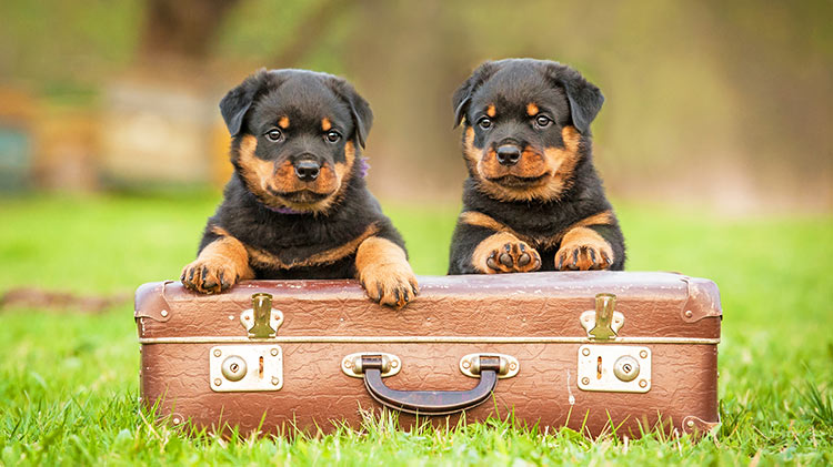 vz_odr_puppies_suitcase_750x421_sep16.jpg